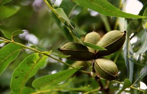 best fertilizer for pecan trees