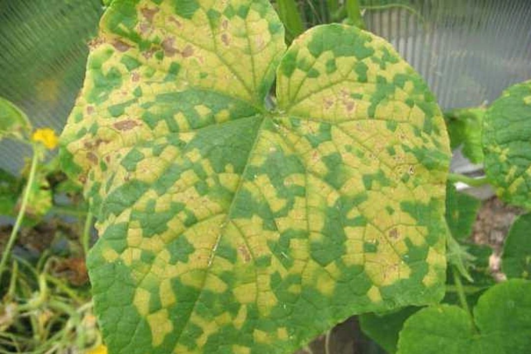 Cucumber Leaves Turning Yellow