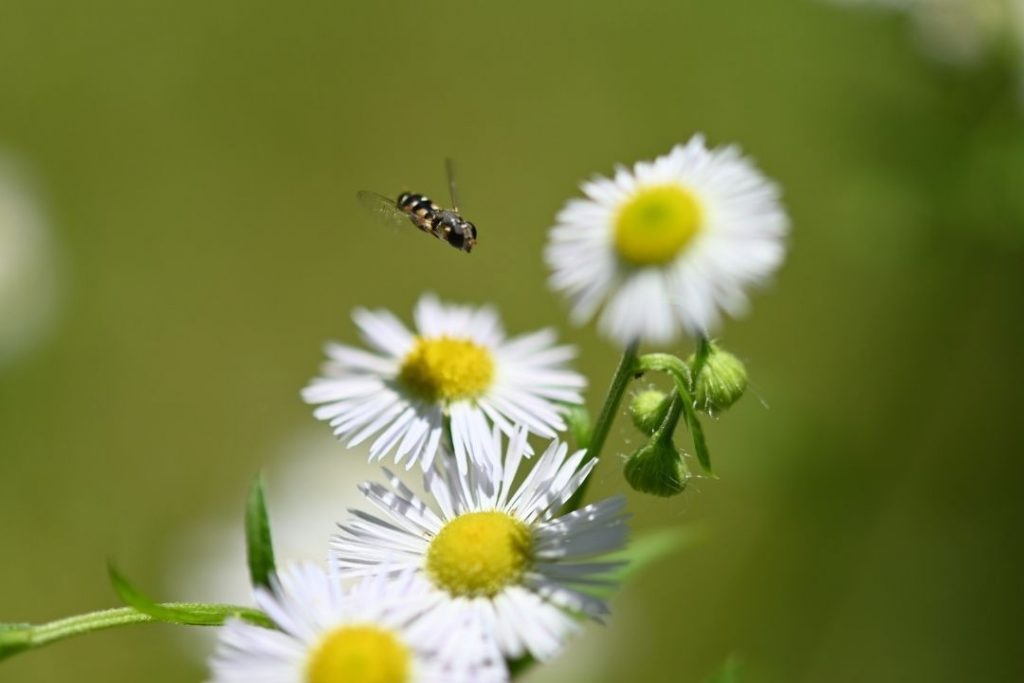 how to get rid of hoverflies