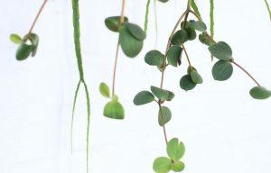 peperomia varieties