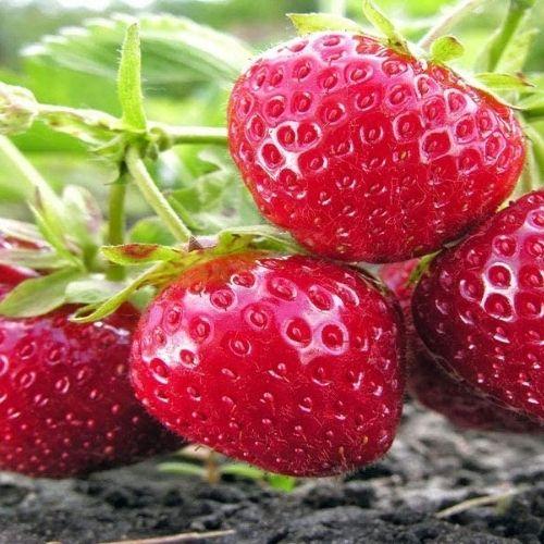 best tasting strawberry