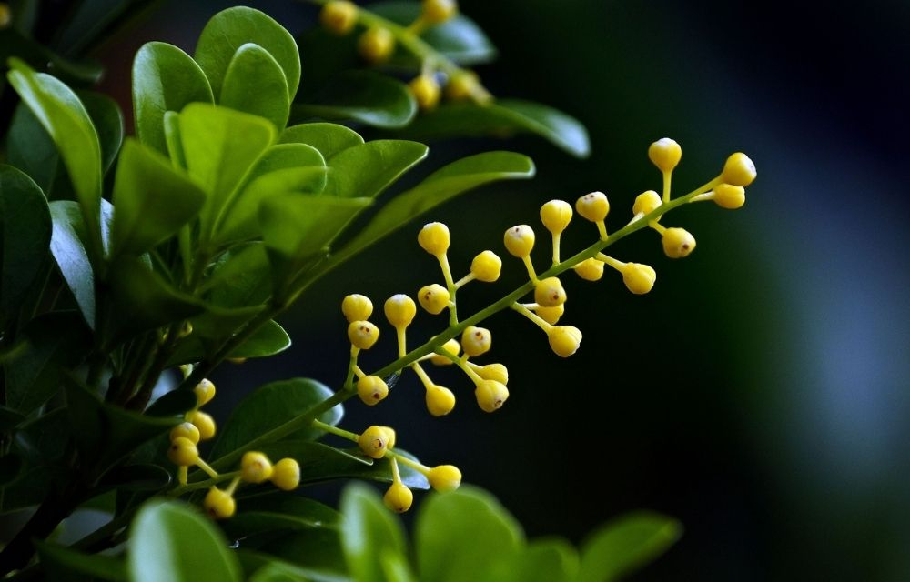 Chinese Perfume Plant