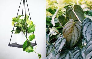 Philodendron vs Pothos