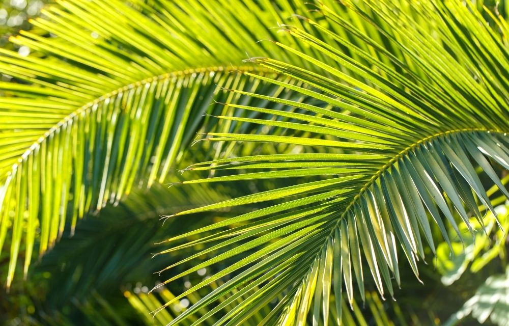 are majesty palms toxic to cats