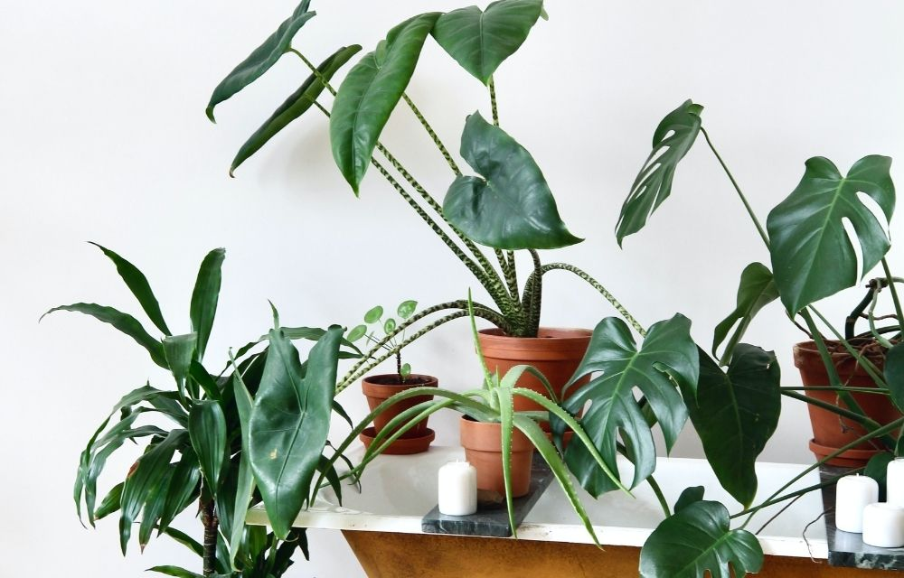 how to propagate monstera 1