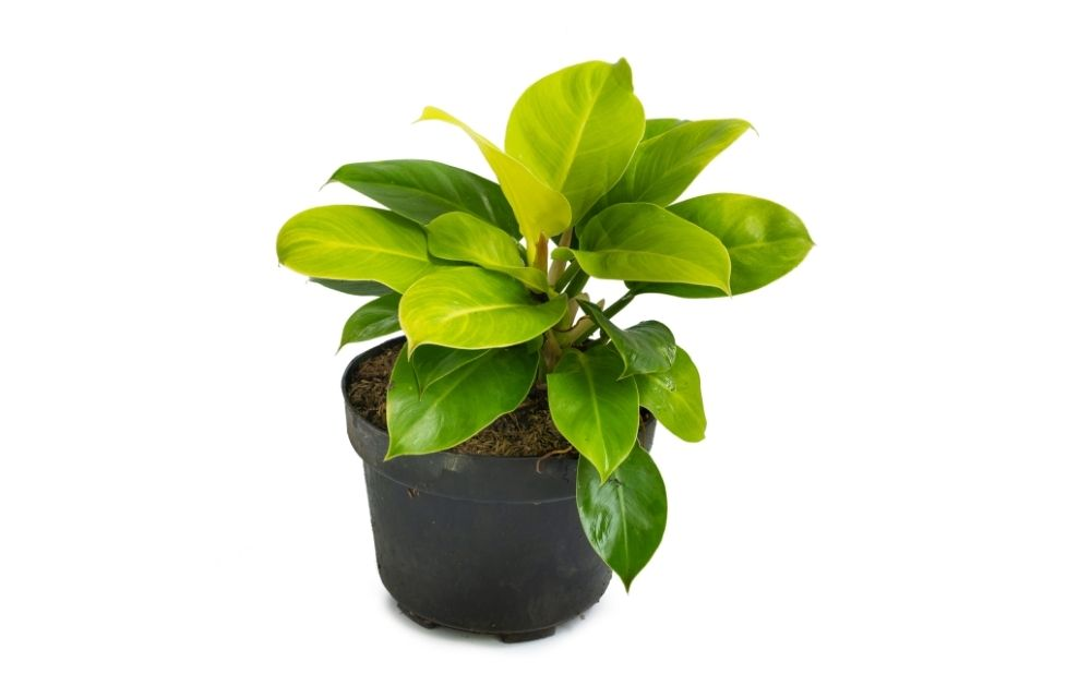 moonlight philodendron