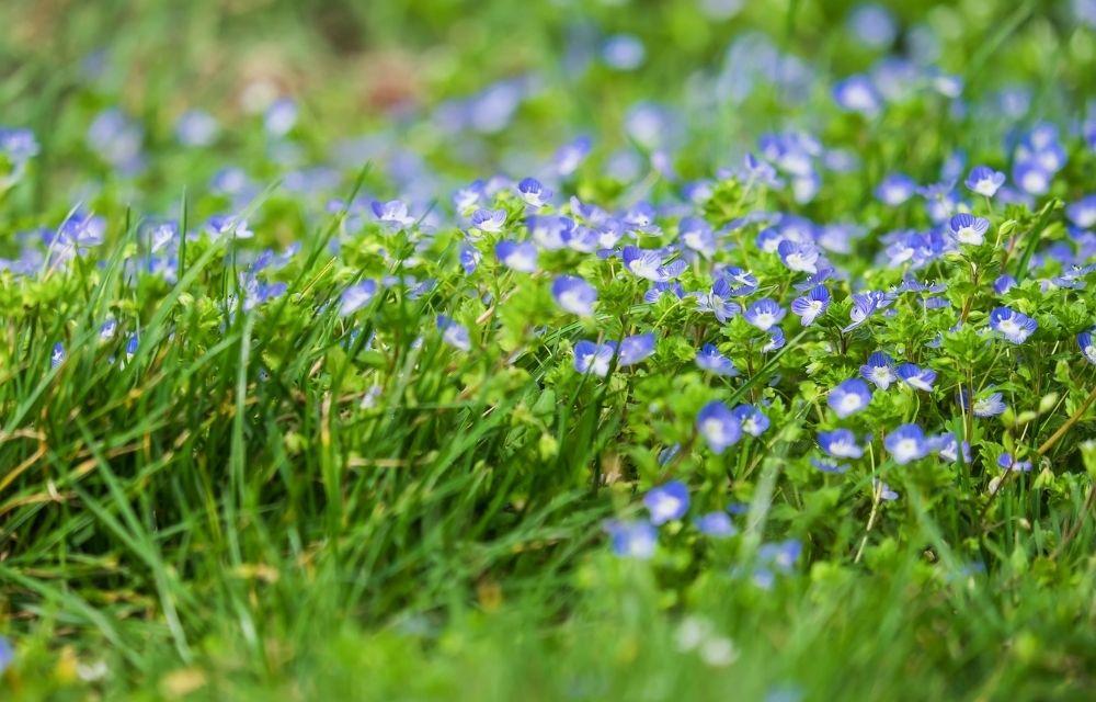 purple flower weed