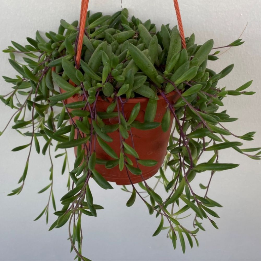 ruby necklace plant