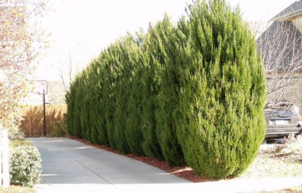 spartan juniper