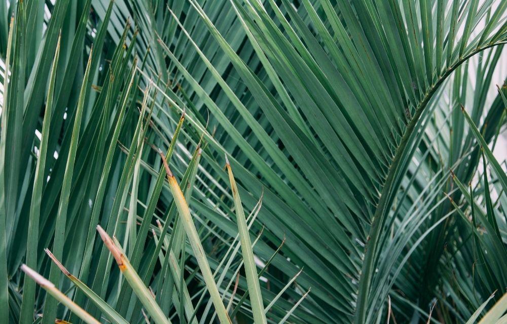 palm fertilizer